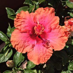 0 Hibiscus