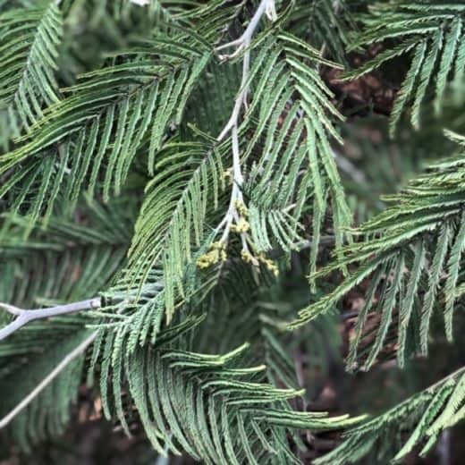 Green mimosa tree branches with leaves creating a beautiful, peaceful pattern.